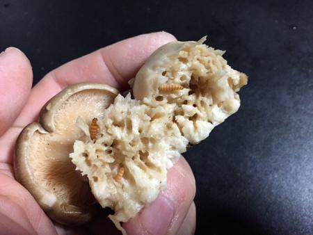 キノコゴミムシダマシ3