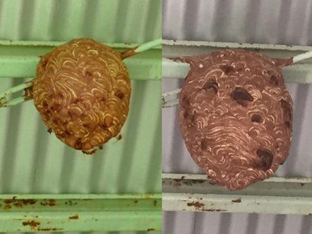 刺されなければどうということはないのでスズメバチの巣も襲います